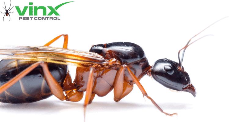 Carpenter Ants Texas