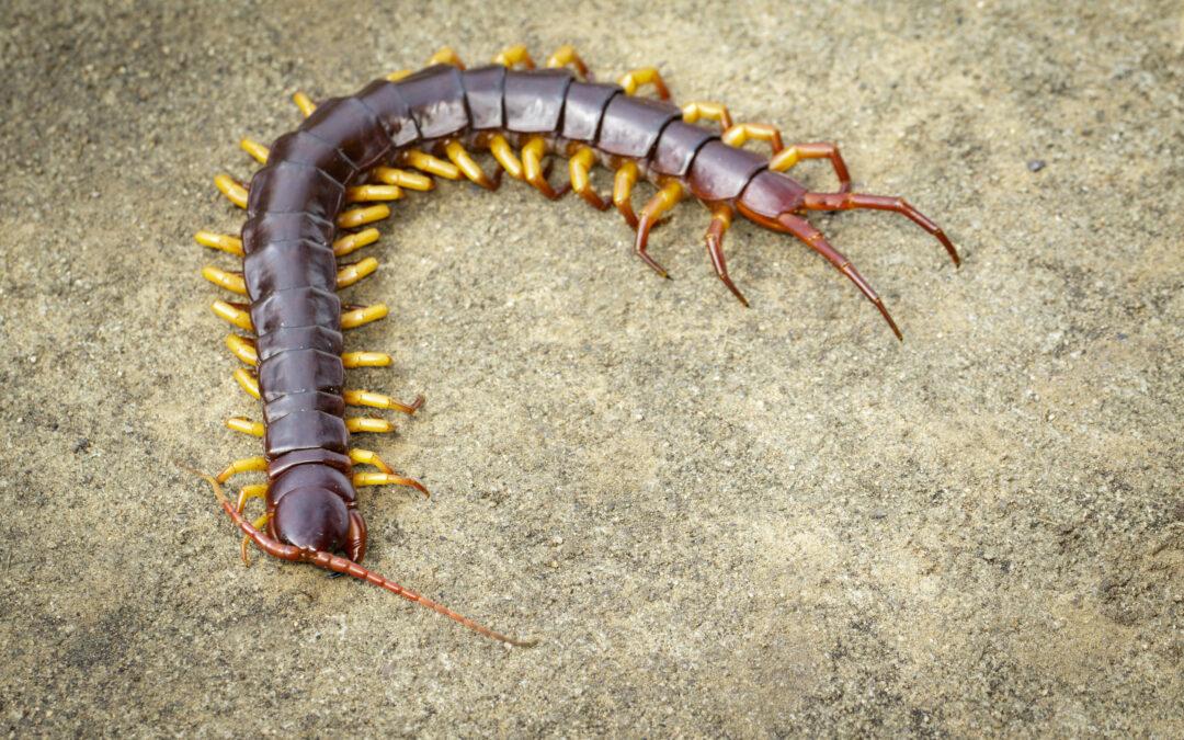 Are Centipedes Poisonous?